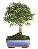 Los mejores bonsais del Ikea